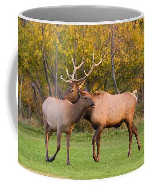 Autumn Coffee Mug featuring the photograph Bull And Cow Elk - Rutting Season by James BO Insogna
