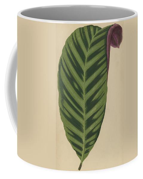 Leaf Coffee Mug featuring the painting Calathea Zebrina, Maranta Zebrina by English School