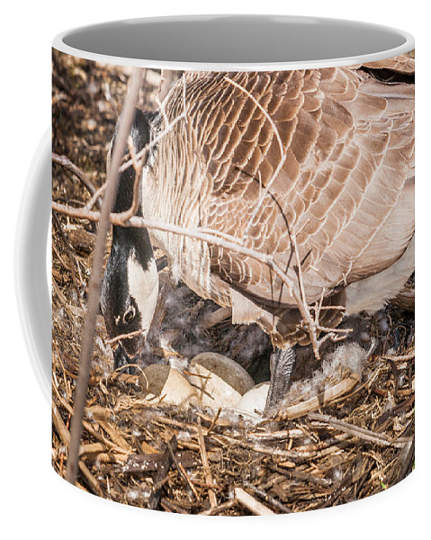 Heron Heaven Coffee Mug featuring the photograph Canada Goose Maternity Ward by Edward Peterson