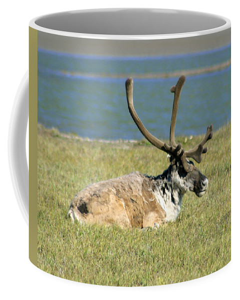Caribou Coffee Mug featuring the photograph Caribou Resting by Anthony Jones
