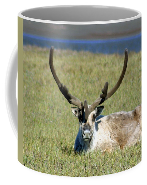 Caribou Coffee Mug featuring the photograph Caribou Resting In Tundra Grass by Anthony Jones