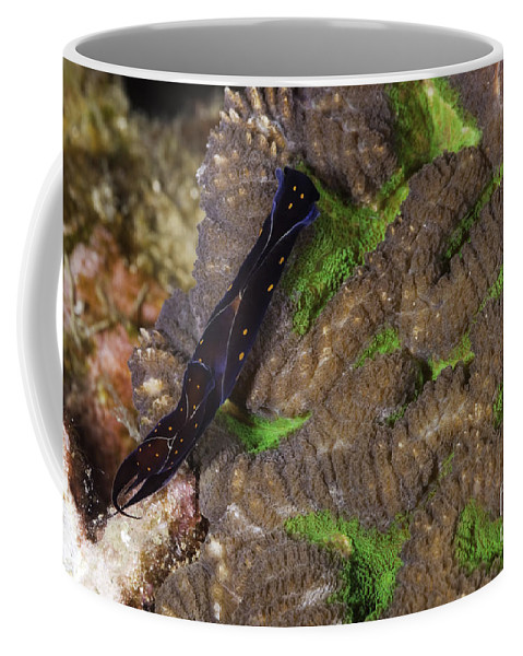Two Coffee Mug featuring the photograph Chelidonura Punctata Nudibranch by Anthony Totah