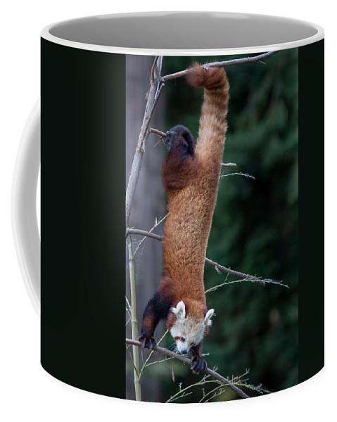 Red Panda Coffee Mug featuring the photograph Climbing Down by Greg Nyquist