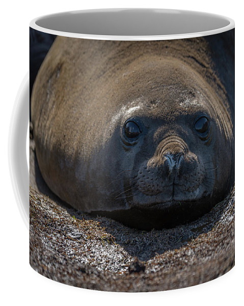Grytviken Coffee Mug featuring the photograph Close-up Of Elephant Seal Looking At Camera by Ndp