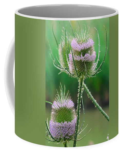 Provence Coffee Mug featuring the photograph Close Up Of Teasel Blossoms Revealing by Anne Keiser