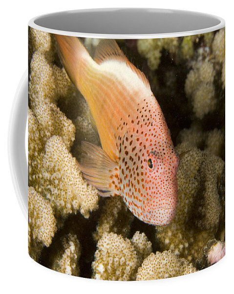 One Animal Coffee Mug featuring the photograph Closeup Of A Freckled Hawkfish by Tim Laman