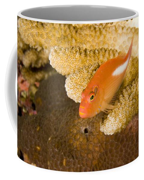 One Animal Coffee Mug featuring the photograph Closeup Of An Arc-eye Hawkfish by Tim Laman