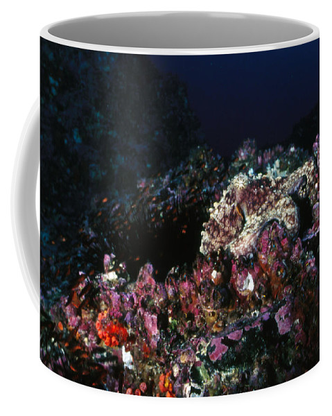 Costa Rica Coffee Mug featuring the photograph Cocos Island Octopus Hiding On Reef by James Forte