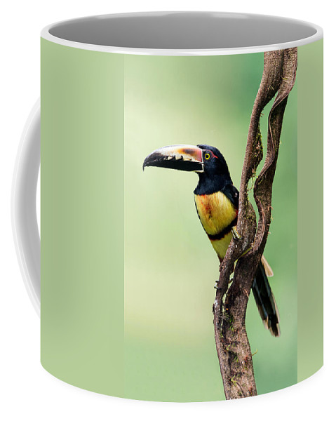Photography Coffee Mug featuring the photograph Collared Aracari Pteroglossus by Panoramic Images
