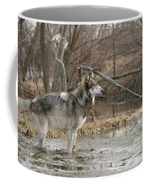 Wolf Canid Canus Lupis Wildlife Wild Animal Mammal Gray Grey Timberwolf Photograph Photography Digital Art Coffee Mug featuring the photograph Concentration by Shari Jardina