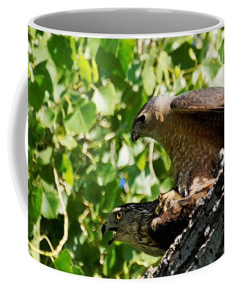 Raptors And Birds Of Prey Coffee Mug featuring the photograph Cooper's Hawks Mating by Dennis Boyd
