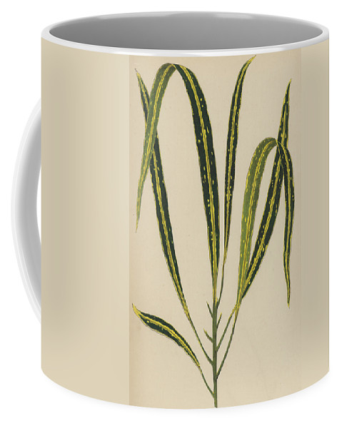 Croton Variegatum Angustifolium Coffee Mug featuring the painting Croton Variegatum Angustifolium by English School