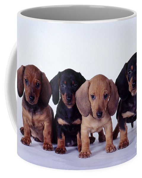 Fauna Coffee Mug featuring the photograph Dachshund Puppies by Carolyn McKeone and Photo Researchers