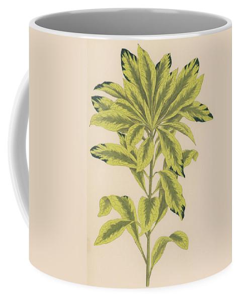 Daphne Mazereon Variegata Coffee Mug featuring the painting Daphne Mazereon Variegata by English School