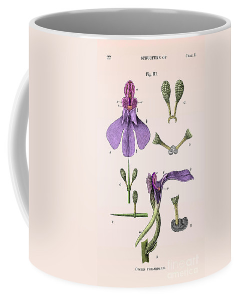 Historic Coffee Mug featuring the photograph Darwins Orchis Pyramidalis, Illustration by Science Source