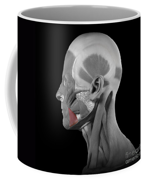 Digitally Generated Image Coffee Mug featuring the photograph Depressor Anguli Oris by Science Picture Co