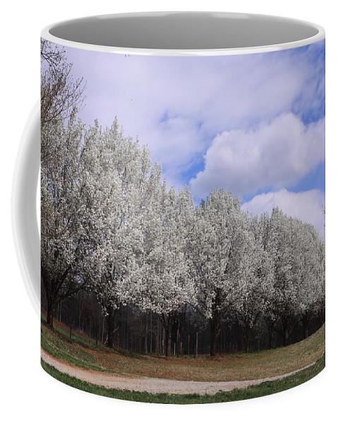 Bradford Pear Trees Coffee Mug featuring the photograph Bradford Pear Trees On Display by Karen Ruhl
