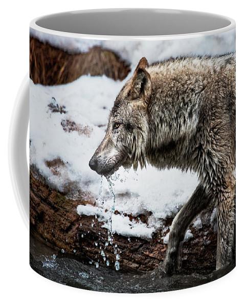 Drinking Wolf Coffee Mug featuring the photograph Drinking Wolf by Janet Ballard