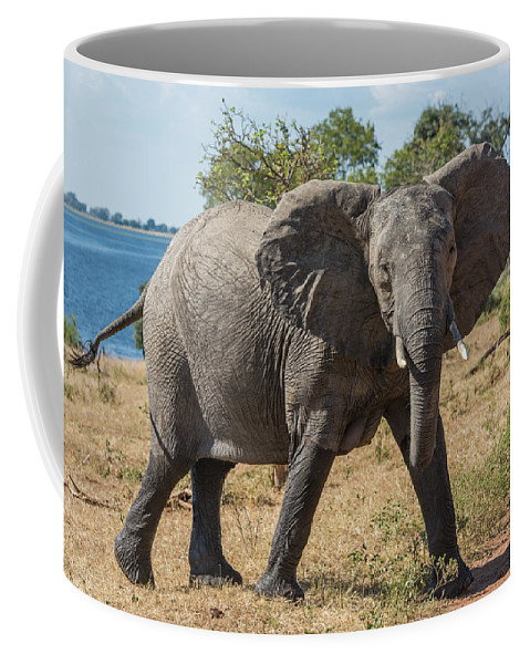 Africa Coffee Mug featuring the photograph Elephant Crossing Dirt Track Facing Towards Camera by Ndp