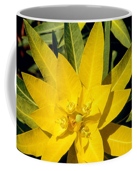 Flower Coffee Mug featuring the photograph Euphorbia Wallichii by American School