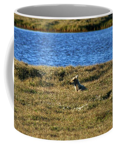 Caribou Coffee Mug featuring the photograph Fawn Caribou by Anthony Jones