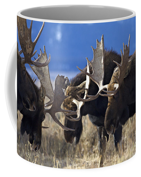 Bull Moose Coffee Mug featuring the photograph Fighting Moose by Daryl L Hunter