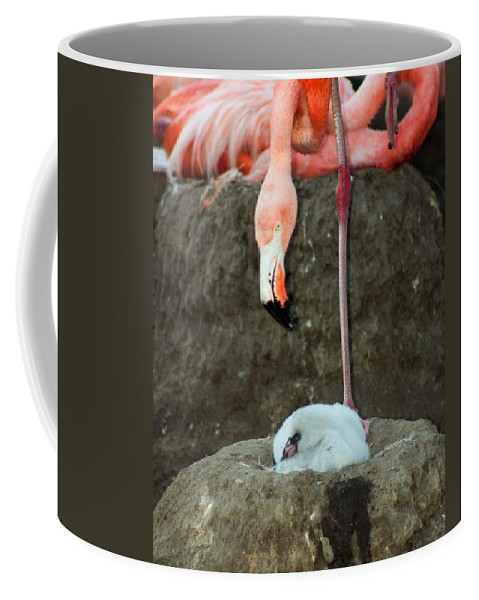 Pink Flamingo Coffee Mug featuring the photograph Flamingo And Chick by Anthony Jones