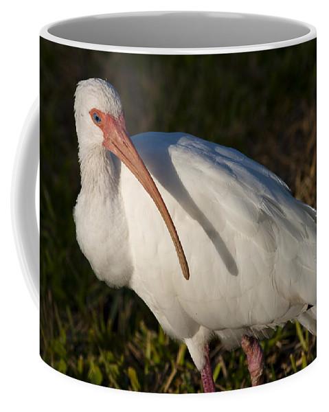 Bird Coffee Mug featuring the photograph Florida White Ibis Eudocimus Albus by Allan Hughes