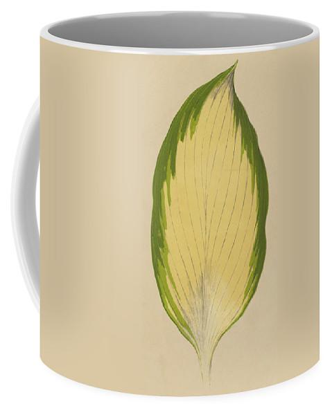 Funkia Sieboldiana Variegata Coffee Mug featuring the painting Funkia Sieboldiana Variegata by English School