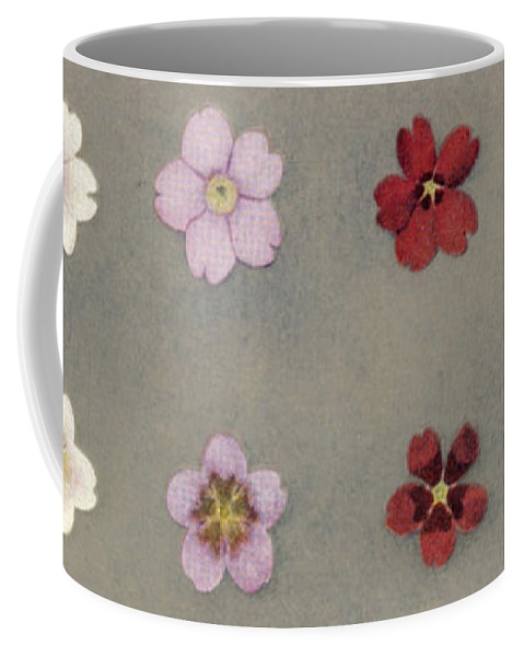 History Coffee Mug featuring the photograph Heredity In Primula Sinensis, Mendel by Wellcome Images