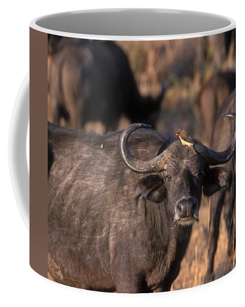 Cape Buffalo Coffee Mug featuring the photograph Hitching A Ride 1 by Sandra Bronstein