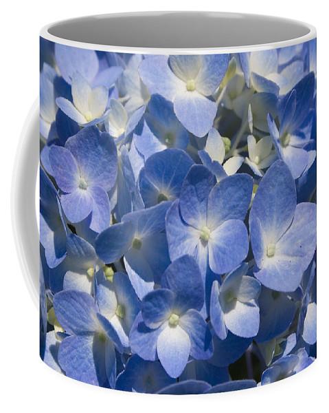 Flower Bloom Blue White Close Nature Sunny Summer Hydrangea Coffee Mug featuring the photograph Hydrangea by Andrei Shliakhau