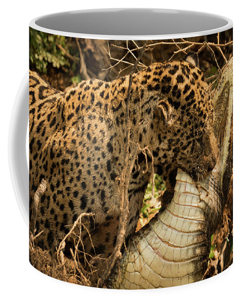Brazil Coffee Mug featuring the photograph Jaguar Dragging Dead Yacare Caiman Through Undergrowth by Ndp