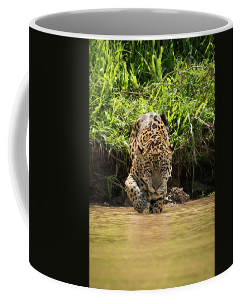 Brazil Coffee Mug featuring the photograph Jaguar Walking Through Muddy Shallows Towards Camera by Ndp