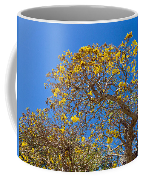 Florida; Tree; Plant; Flower; Flowering; Blossom; Blossoming; Jerusalem; Thorn; Possom; Mexican; Pal Coffee Mug featuring the photograph Jerusalem Thorn Tree by Allan Hughes