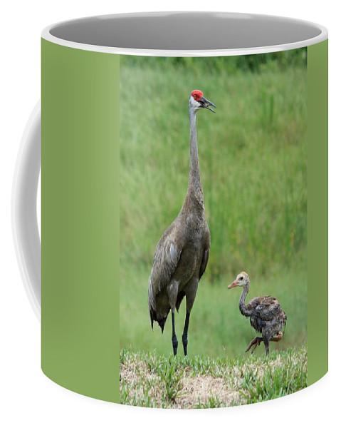 Sandhill Cranes Coffee Mug featuring the photograph Juvenile Sandhill Crane With Protective Papa by Carol Groenen