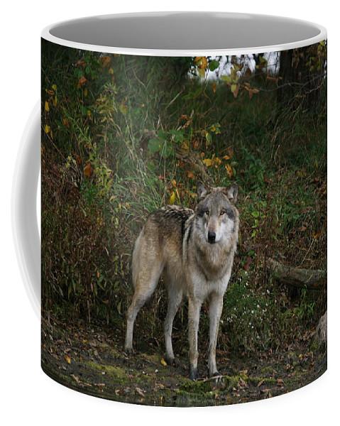 Wolf Wolves Gray Grey Lupine Canis Lupis Wildlife Mammal Wild Animal Photography Photograph Coffee Mug featuring the photograph Lupine Pose by Shari Jardina