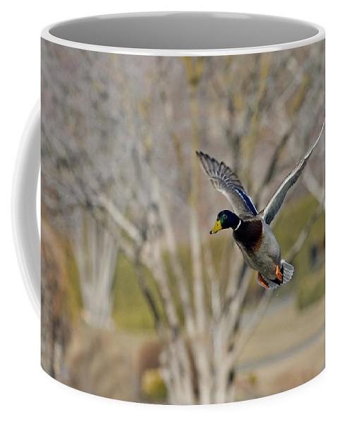 Mallard Duck Coffee Mug featuring the photograph Mallard Approach by Mike Dawson
