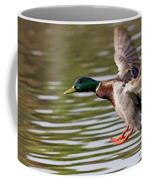 Mallard Coffee Mug featuring the photograph Mallard Landing by Randall Ingalls