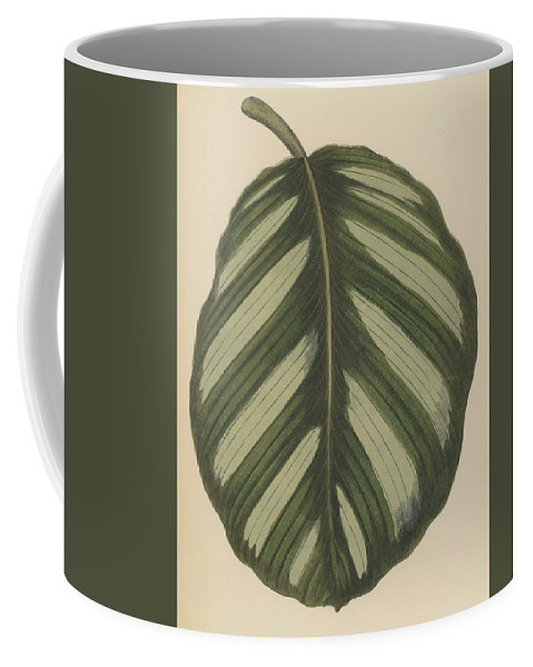 Maranta Fasciata Coffee Mug featuring the painting Maranta Fasciata by English School