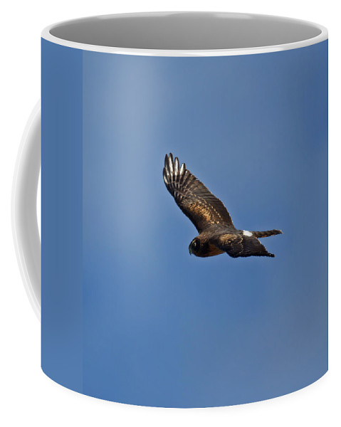 Marsh Hawk Coffee Mug featuring the photograph Marsh Hawk Square Format by Ernie Echols
