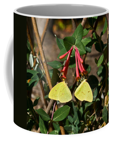 Sulfur Coffee Mug featuring the photograph Matched Pair Of Sulfur Butterflies by Douglas Barnett