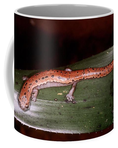 Fauna Coffee Mug featuring the photograph Mexican Palm Salamander by Dante Fenolio