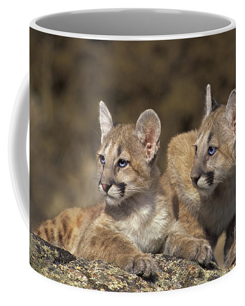 Mountain Lion Coffee Mug featuring the photograph Mountain Lion Cubs On Rock Outcrop by Dave Welling