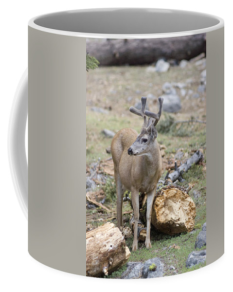 Mule Deer Coffee Mug featuring the photograph Mule Deer Odocoileus Hemionus Buck by Rich Reid