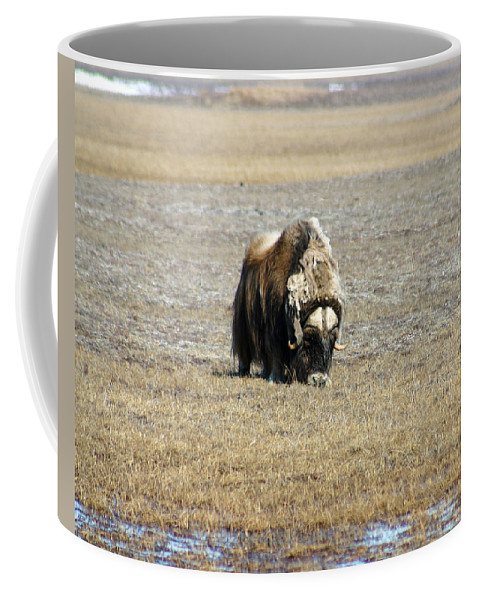 Musk Ox Coffee Mug featuring the photograph Musk Ox Grazing by Anthony Jones