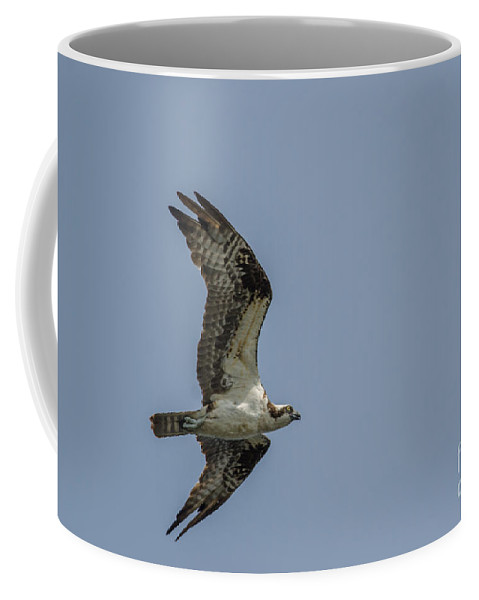 Wildlife Coffee Mug featuring the photograph Northern Harrier In Flight by Neil Taitel