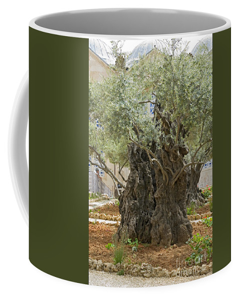 Psi Coffee Mug featuring the photograph Old Olive Trees Gethsemane Jerusalem by Ilan Rosen