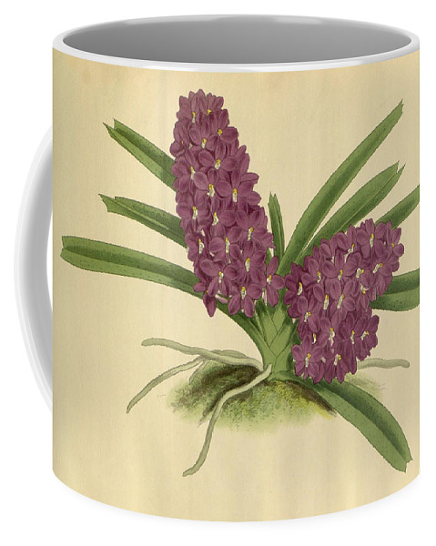 Orchids Coffee Mug featuring the painting Orchid Saccolabium Ampullaceum by J Nugent Fitch