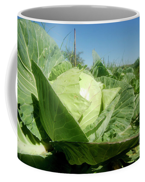 Organic Coffee Mug featuring the photograph Organic White Cabbage by Yotam Jacobson